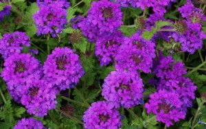 13189-Homestead-Purple-Verbena