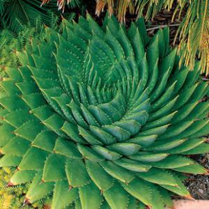 350-unids-lote-venta-caliente-semillas-Aloe-plantas-suculentas-bonsai-semillas-Rare-polyphylla-Aloe-espiral-Aloe