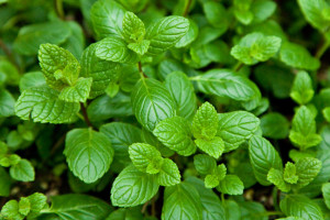 Mint_Spearmint