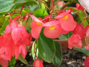 begonia-hybrida-dragon-wing_6_1