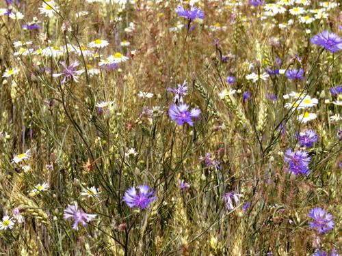 Las malas hierbas anuales